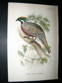 Allen 1890's Antique Bird Print. Common Koklass Pheasant